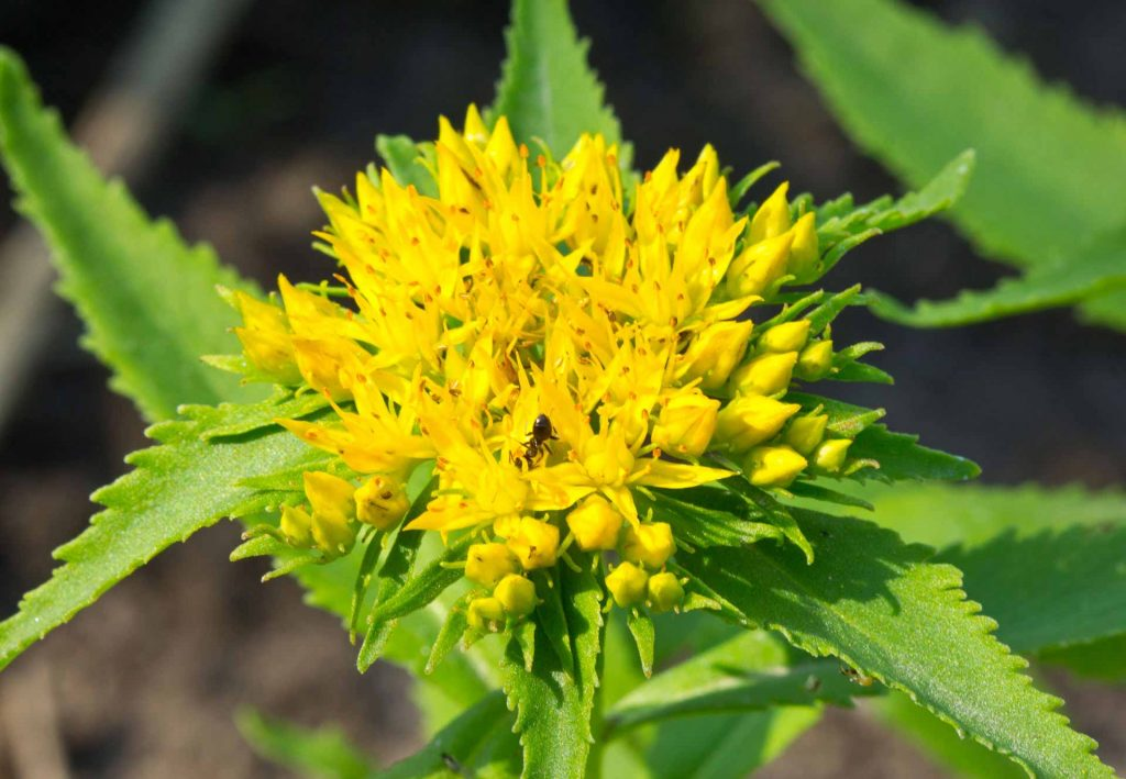 benefits-of-Rhodiola-rosea